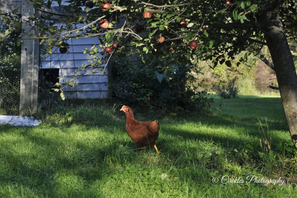 Chicken Under Apple Tree photo reproduction print