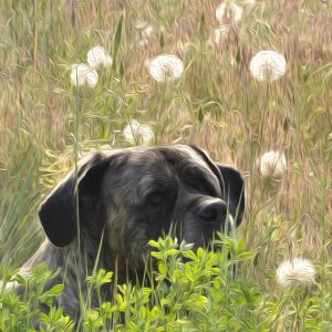 art print of an English Mastiff in a field of summer puff balls